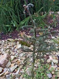 Abies magnifica   - California red fir