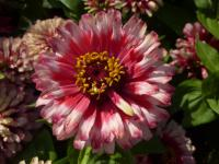Zinnia elegans     'Swiz Cherry White'  Youth-and-age flowers