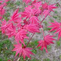 Acer palmatum  'Corallinum'  Japanese maple leaves