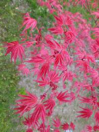 Acer palmatum    'Corallinum'  Japanese maple leaves back face