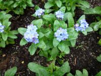 Myosotis sylvatica  'Bluesylva'  Wood Forget-me-not plant