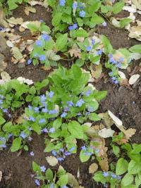 Omphalodes verna   creeping navelwort plant