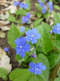 Omphalodes verna   creeping navelwort flowers