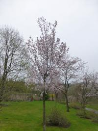 Prunus serrulata  'Shirotae' - Japanese Cherry