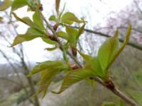 Prunus subhirtella             'Autumnalis Rosea'  Winter-flowering Cherry leaves