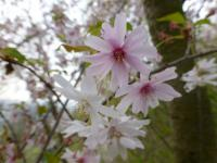 Prunus subhirtella        'Autumnalis Rosea'  Winter-flowering Cherry flowers