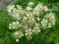 Sorbus domestica   Service Tree flowers