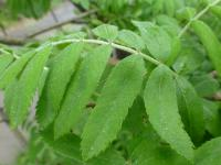 Sorbus domestica   Service Tree leaves