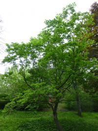 Acer circinatum   vine maple plant