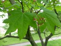 Acer circinatum   vine maple leaves
