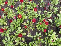 Bellis perennis  'Rominette Red' - English Daisy