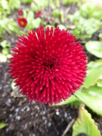 Bellis perennis    'Rominette Red'  English Daisy flowers
