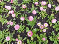 Bellis perennis  'Robella' - English Daisy
