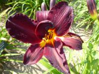 Denivka 'Root Beer' (Hemerocallis)