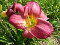 Denivka 'Sherry Fair' (Hemerocallis)