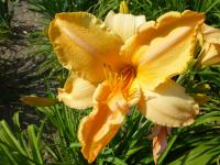 Denivka 'Ruffled Apricot' (Hemerocallis)