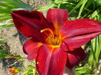 Denivka 'Lusty Lealand' (Hemerocallis)