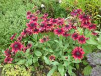 Rudbeckia hirta  'Cherry Brandy' - Black-eyed Susan