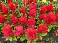 Celosia argentea var. plumosa 'Arrabona' - Dragon's Breath
