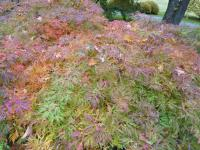 Acer japonicum  'Green Cascade'  Downy Japanese-maple plant