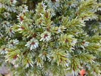 Smrk sitka 'Fritche' (Picea sitchensis)