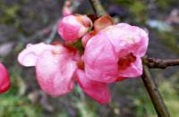 Chaenomeles superba   'Pink Lady'  Japanese Quince flowers
