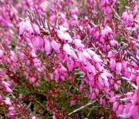 Erica carnea  'Challenger'  Winter Heath flowers