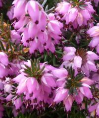 Erica carnea  'Winter Beauty'  Winter Heath flowers