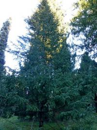 Abies balsamea   - balsam fir