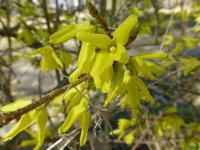 Forsythia x intermedia   Border Forsythia flowers
