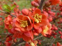 Chaenomeles superba         'Nicoline'  Japanese Quince flowers