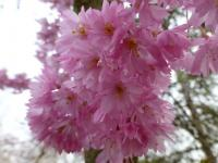 Prunus subhirtella     'Fukubana'  Winter-flowering Cherry flowers
