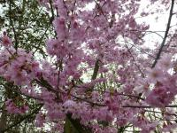 Prunus subhirtella   'Fukubana'  Winter-flowering Cherry plant