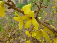 Forsythia suspensa   var. sieboldii Golden-bell flowers