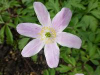 Anemone nemorosa  'Pink from Wisley'  Wood Anemone flowers