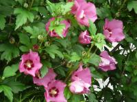 Hibiscus syriacus   Rose of Sharon flowers