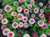 Youth-and-age Zinnia elegans  'Swizzle Cherry and Ivory'