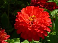 Youth-and-age Zinnia elegans  'Coral Giant'