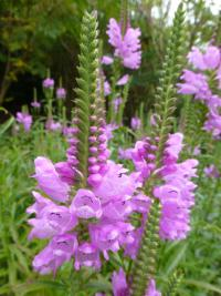 obedient plant Physostegia virginiana  'Rosy Spire'