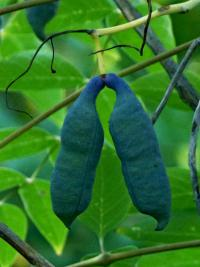 Decaisnea fargesii   Dead Man's Fingers fruits