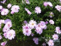 Aster dumosus  'Judith'  Rice Button Aster plant