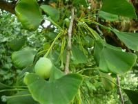 Ginkgo biloba   maidenhair tree fruits