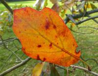 Quercus arkansana   Arkansas Oak leaves back face