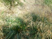 Deschampsia caespitosa  'Palava'  tufted hair grass plant
