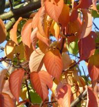 Prunus sargentii      'Rancho'  Sargent Cherry leaves