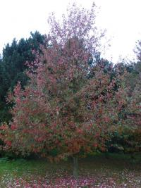 Acer rubrum   'Red Sunset'  red maple plant
