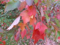 Acer rubrum                  'Red Sunset'  red maple leaves