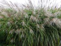 Miscanthus sinensis  'Positano'  Chinese Silver Grass plant