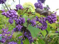 Callicarpa japonica         'Heavy Berry'  Japanese Beautyberry twings