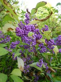 Callicarpa japonica  'Heavy Berry'  Japanese Beautyberry plant
